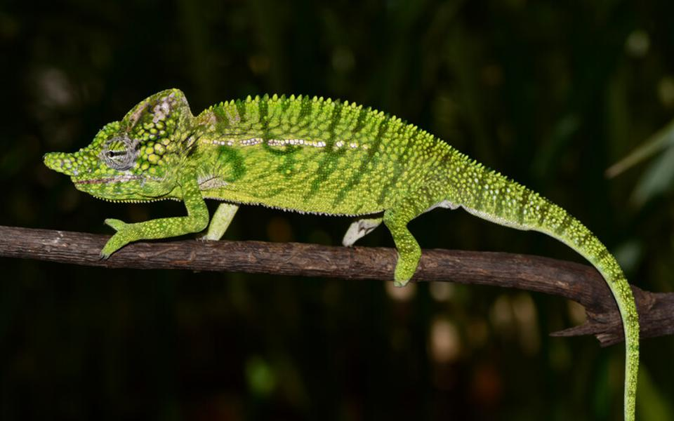 Color photo of a green lizard on a branch