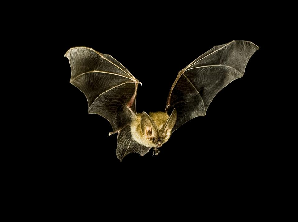 Townsend's Big-Eared Bat in Flight