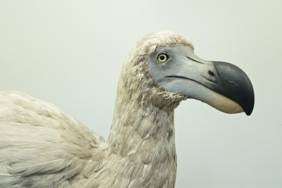 Reconstruction of an extinct Dodo bird