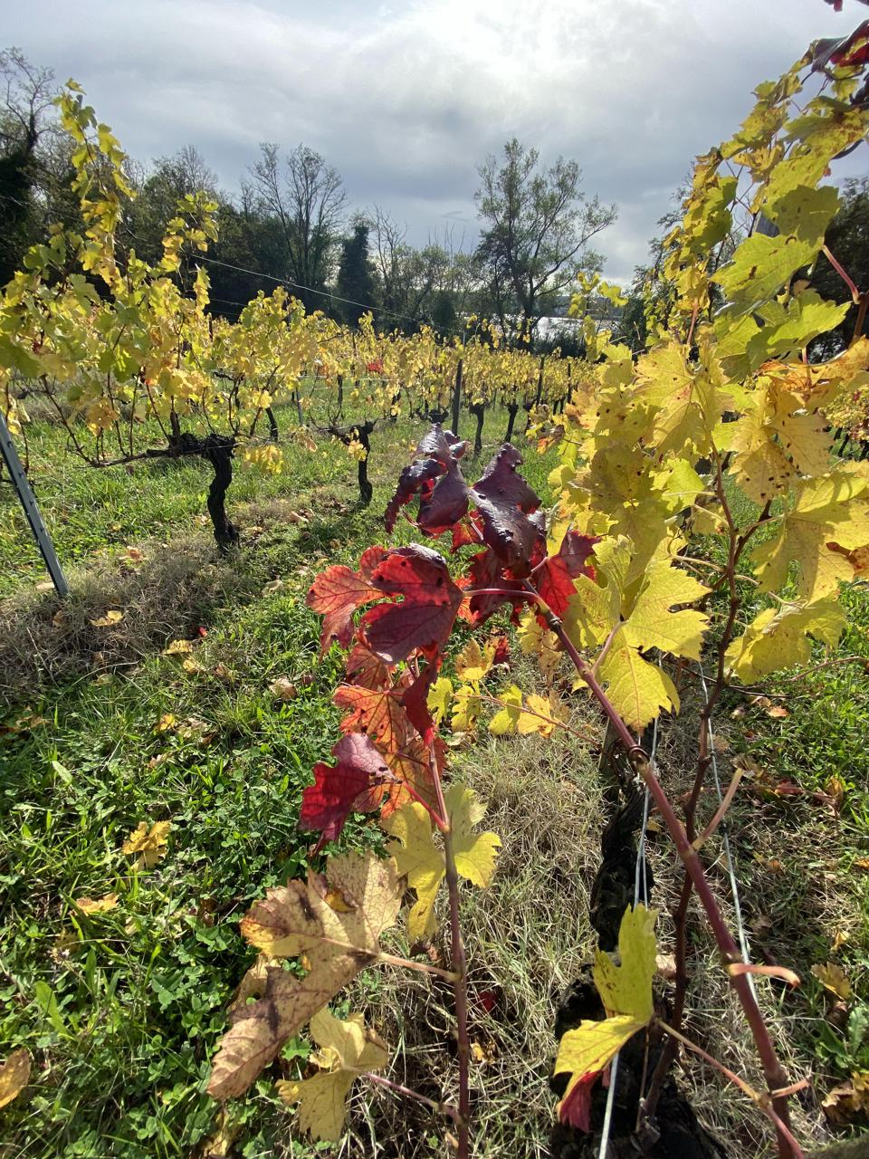 Vines in Bourg appellation of Bordeaux