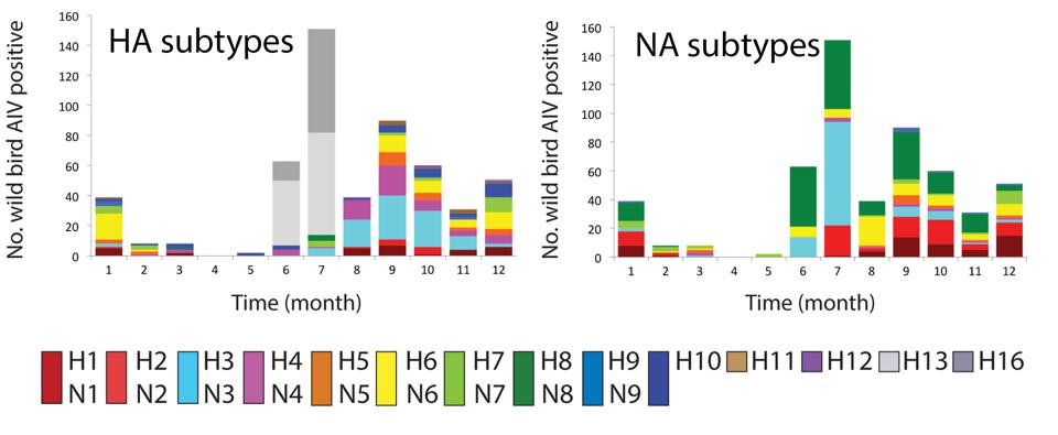 Frequency of Influenza A HA and NA subtypes among 542 wild birds in the Netherlands.