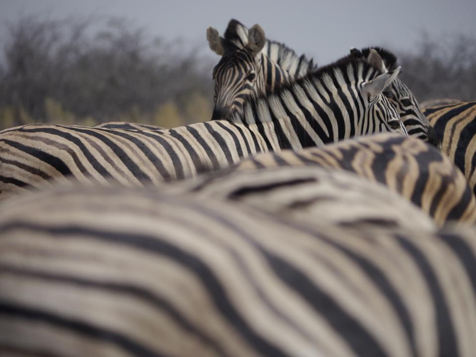 A zebra is looking at the camera over the striped backs of four other zebra.