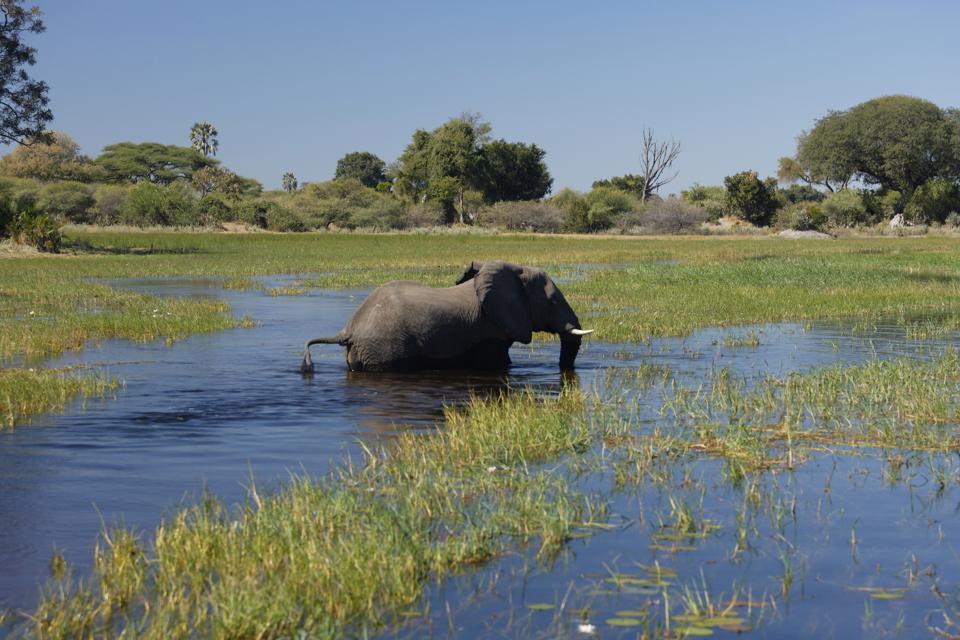 Botswana. Okavango Delta. Xigera Camp. Safari. Elephant