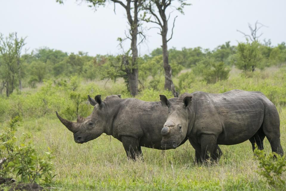 Two rhinoceroses, one with a horn and one without, stand in a grassy area.