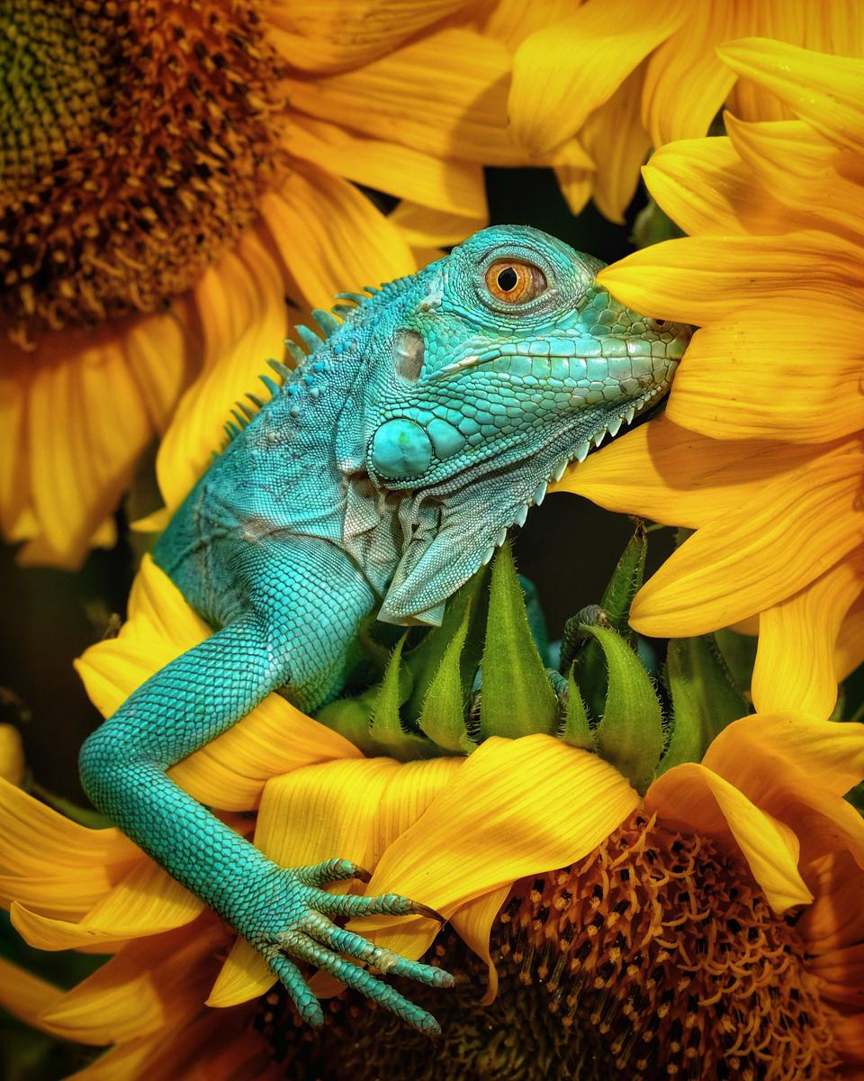 Best Animal Photos Agora Cntest: Green guana  among sunflowers