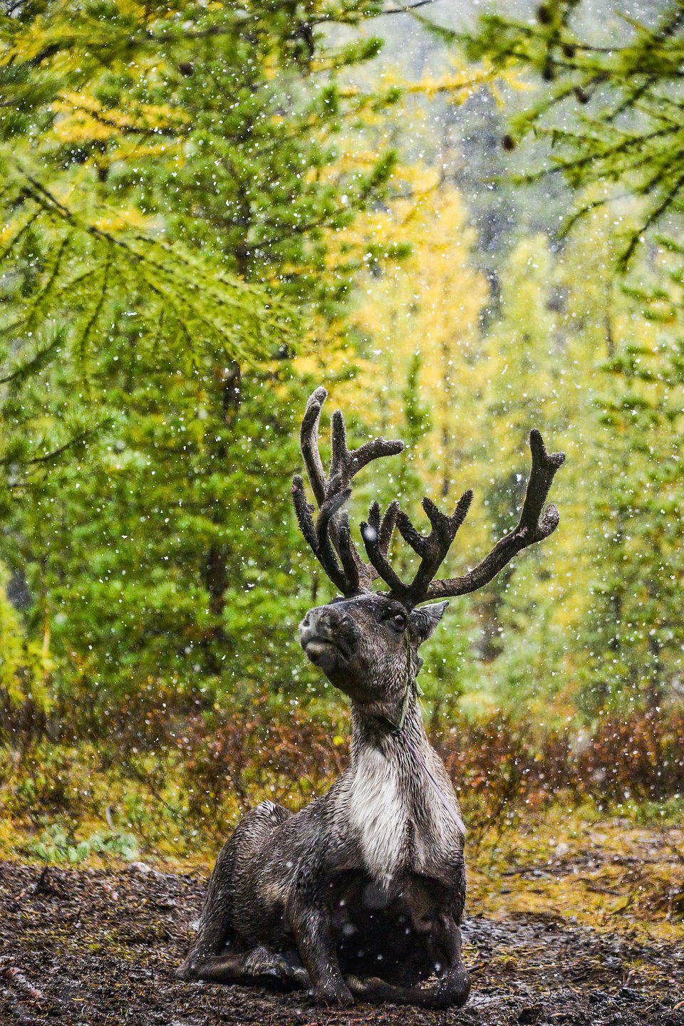 Best Animal Photos contest: Reindeer at the end of fall as first snow falls.