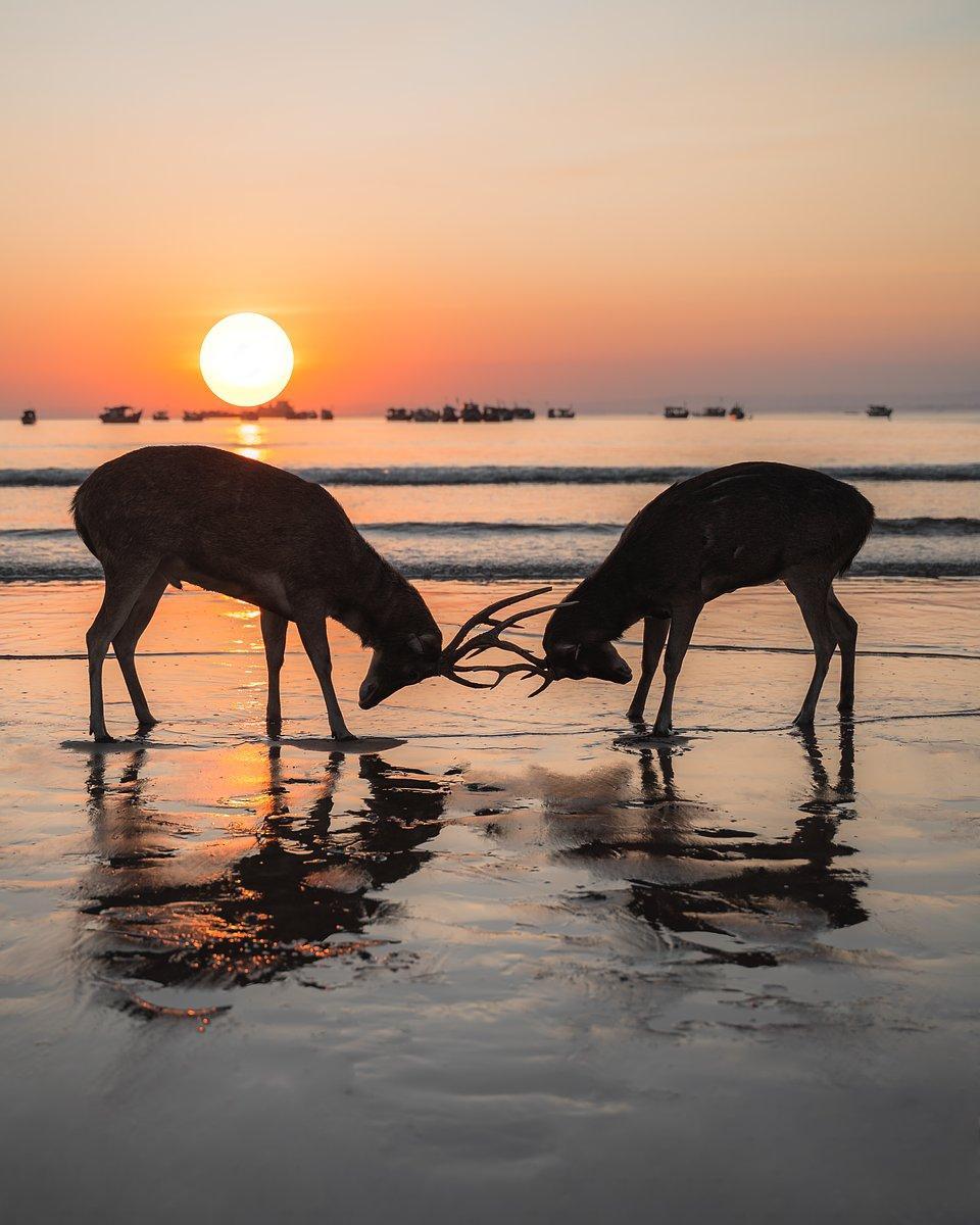 Best Animal Photos Contest Agora: reindeer locking horns  with orange sunset