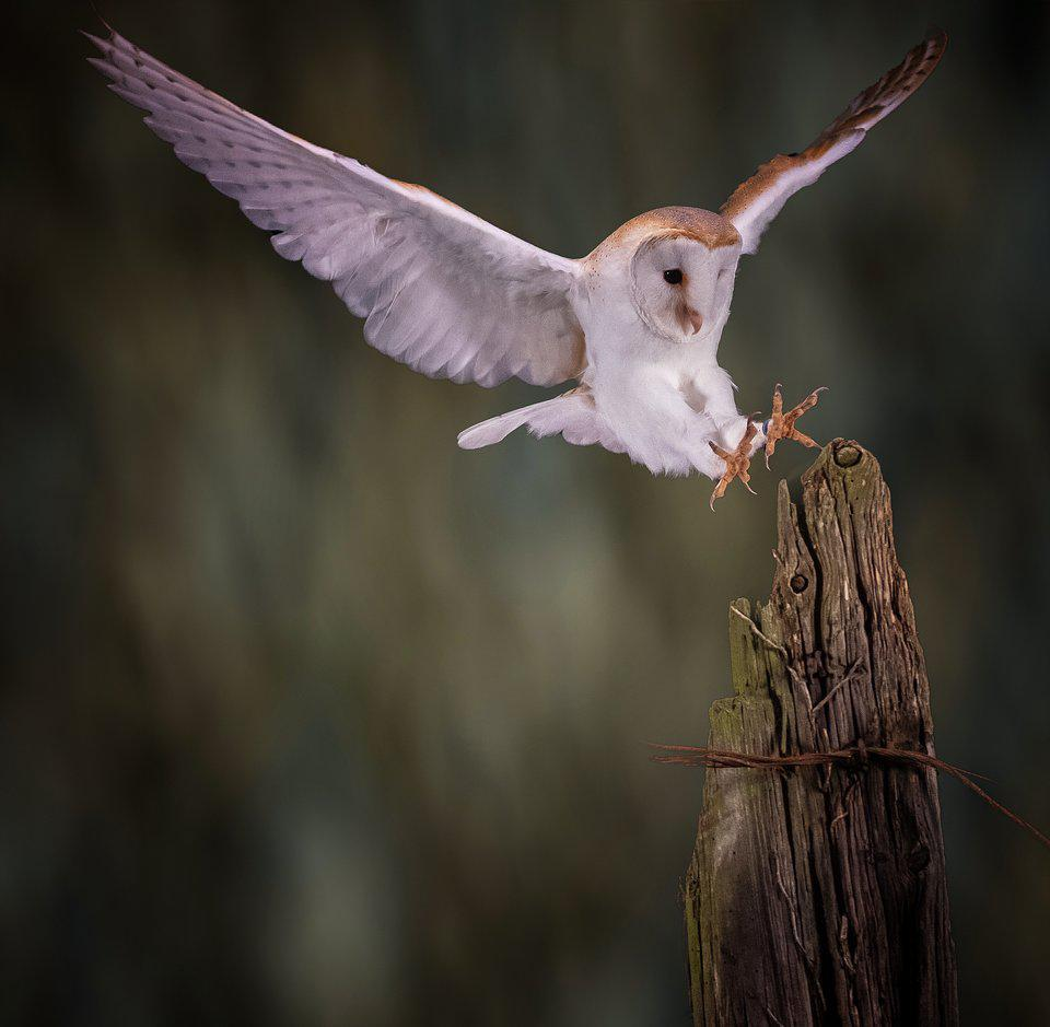 Best Animal Photos Agora Contest: barn owl with spreading wings
