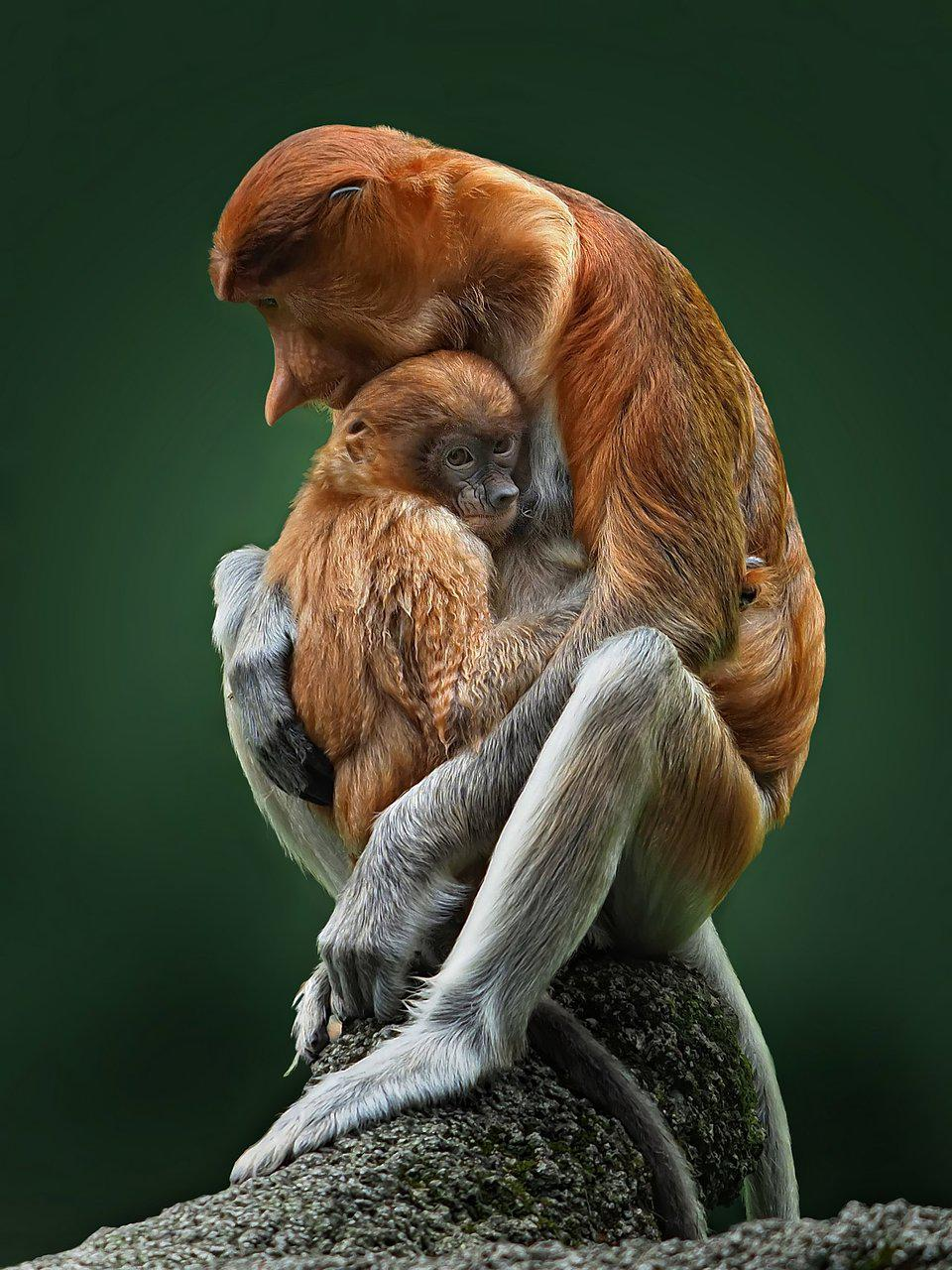 Best Animal Photos Agora Contest, mother monkey with baby