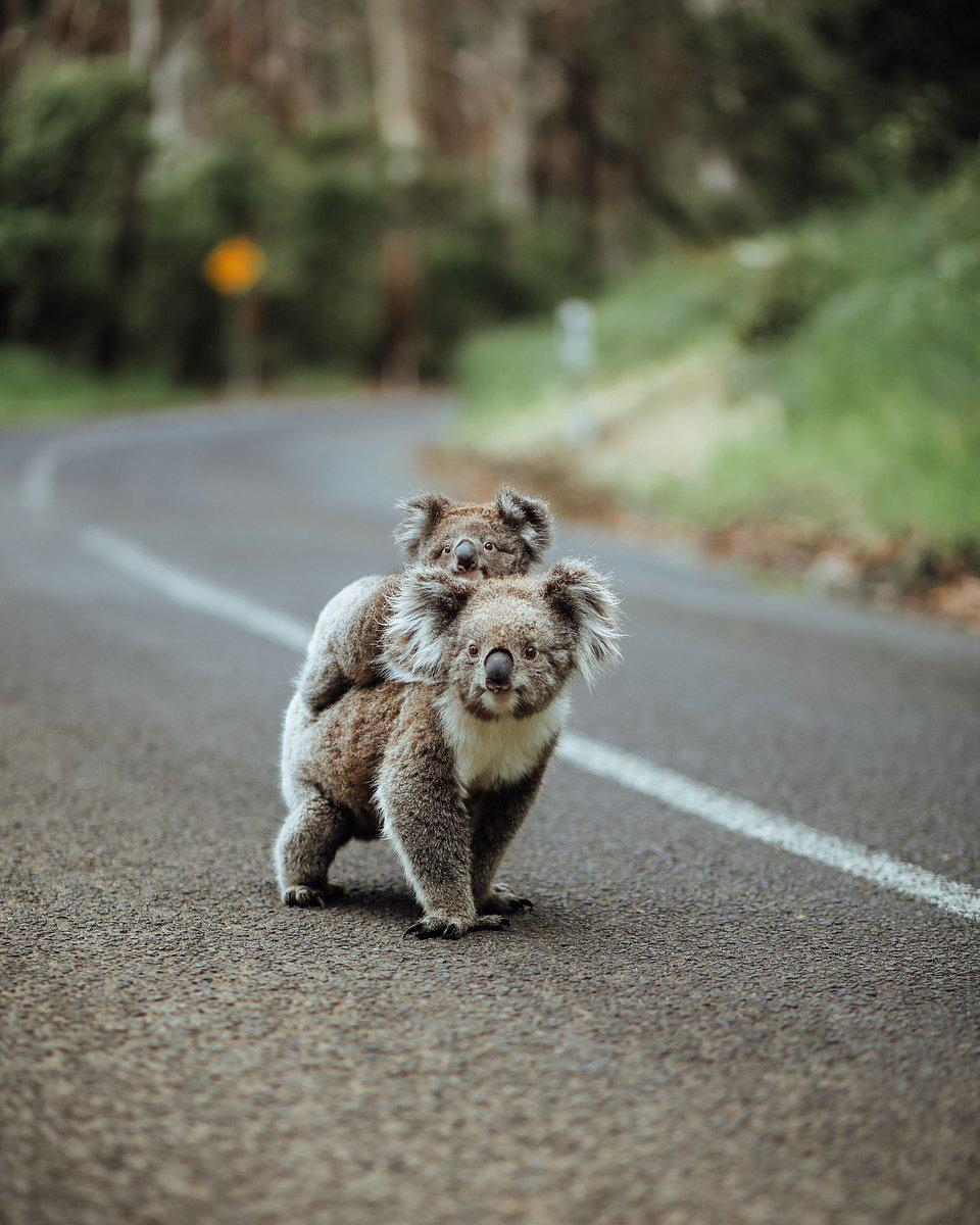 Best Animal Photos Agora Contest A koala bear with baby on top crossing a road in Australia