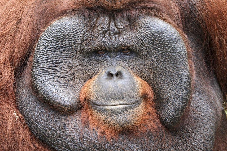 Best Animal Photos Agora Contest: close up of an orangutan face in Indonesia.