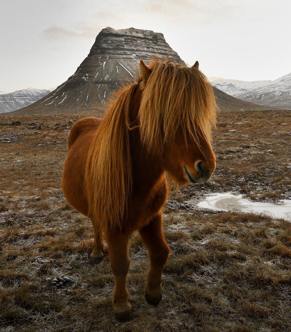 Best Animal Photos Agora Contest: a wild 'Icelandic' horse