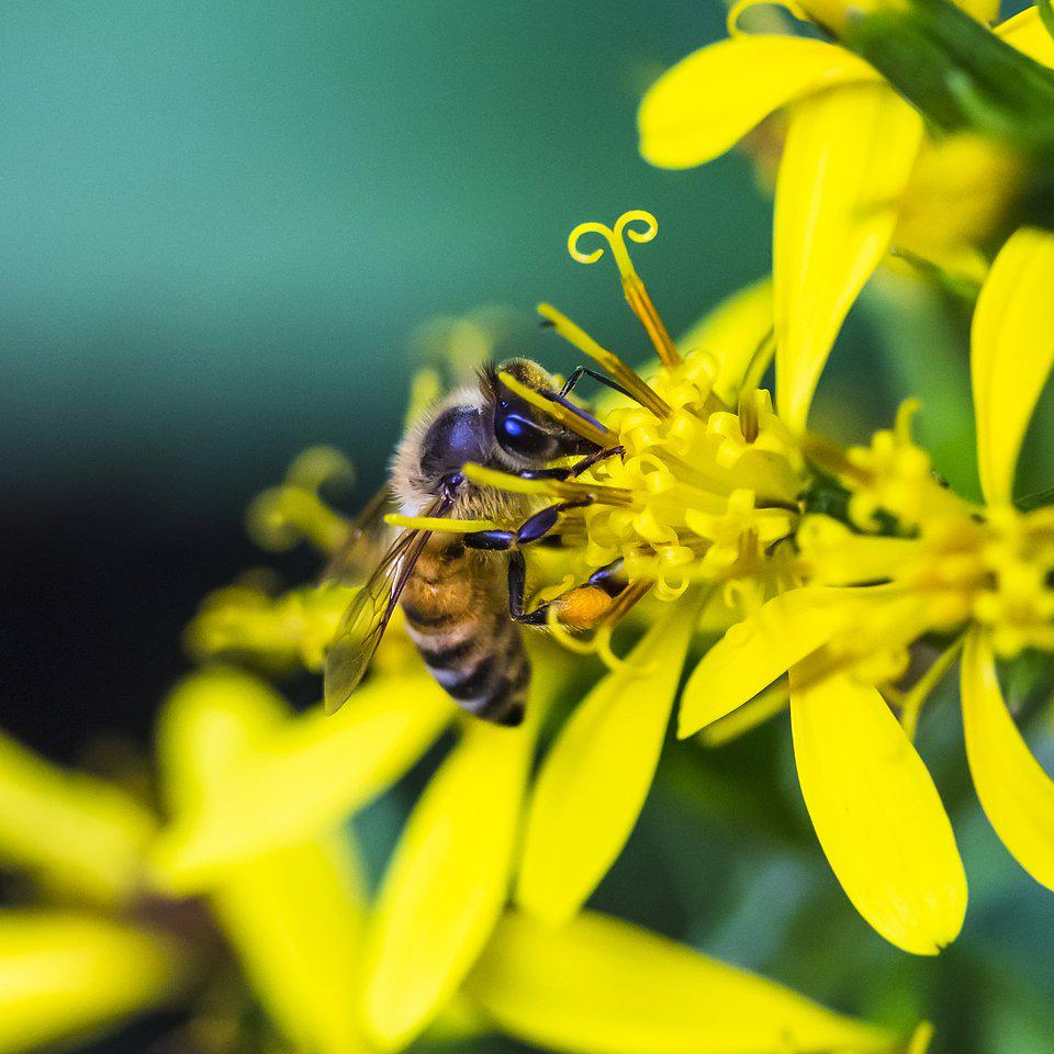 Best Animal Photos Agora Contest: A bee collects pollen from a yellow flower Fischers Ragwort, in Korea