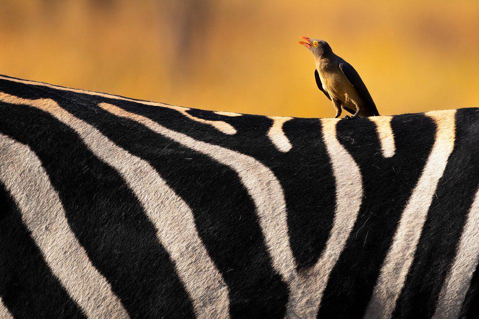 Best Animal Photos Agora Contest: a chirping bird on the back of a zebra.