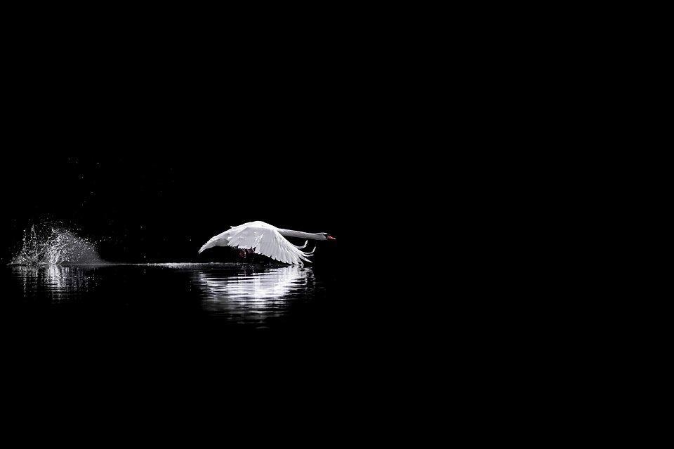 Best Animal Photos Agora Contest: a white swan landing in a dark lake