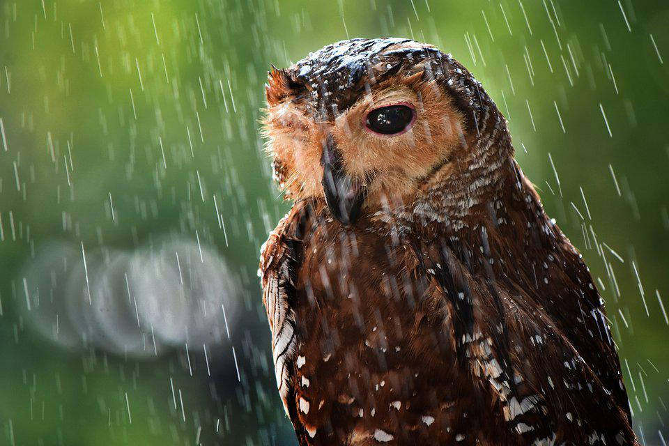 Best Animal Photos Agora Contest: brown owl under the rain.