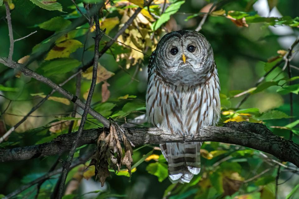The Barred Owl of Central Park on his first appearance, October 9, 2020.