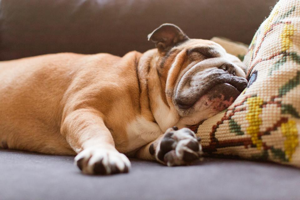 English bulldog sleeping on couch