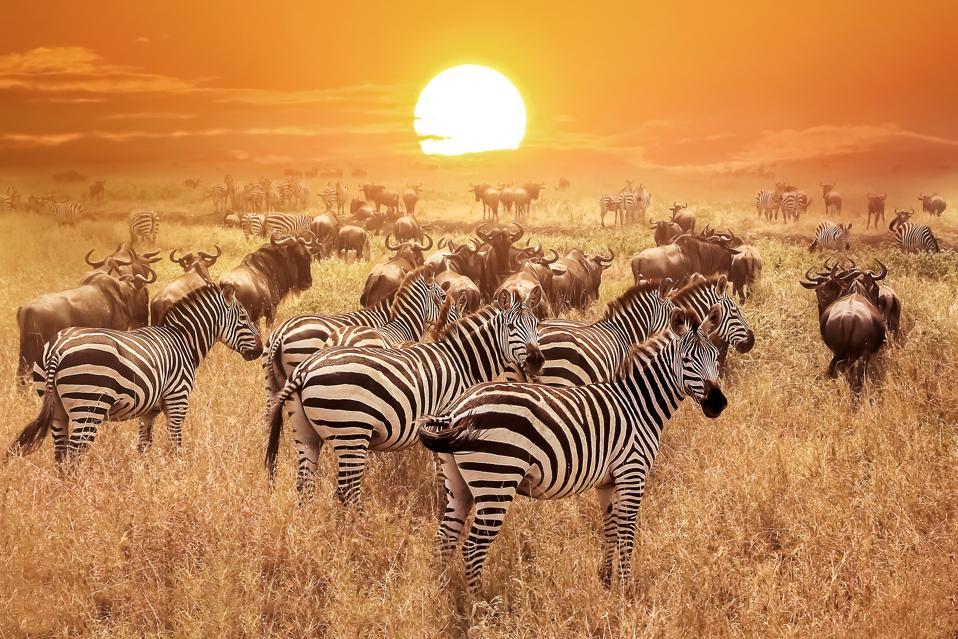 Zebra at sunset in the Serengeti National Park, Tanzania.