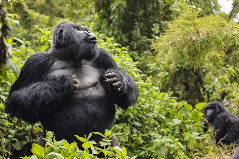 Silverback Mountain gorilla named Guhonda in Parc National des Volcans, Rwanda, Africa.
