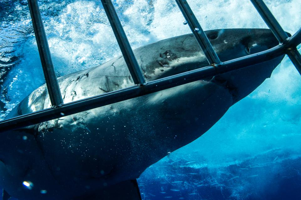 Cage Diving with Great White Sharks in Guadalupe, Mexico
