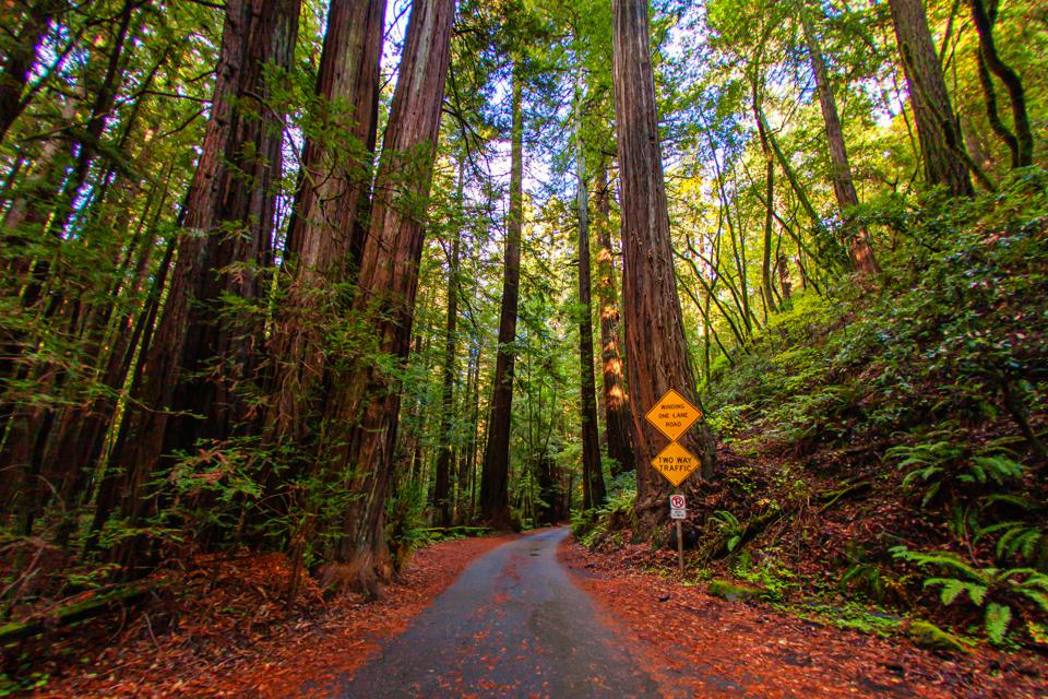 Redwood Trees in Sonoma County, California