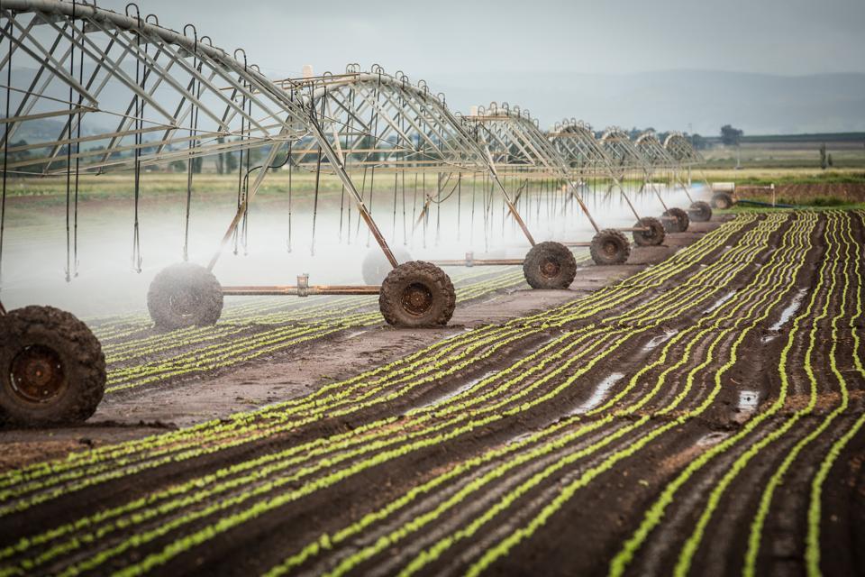 Irrigation of lettuce seedlings.