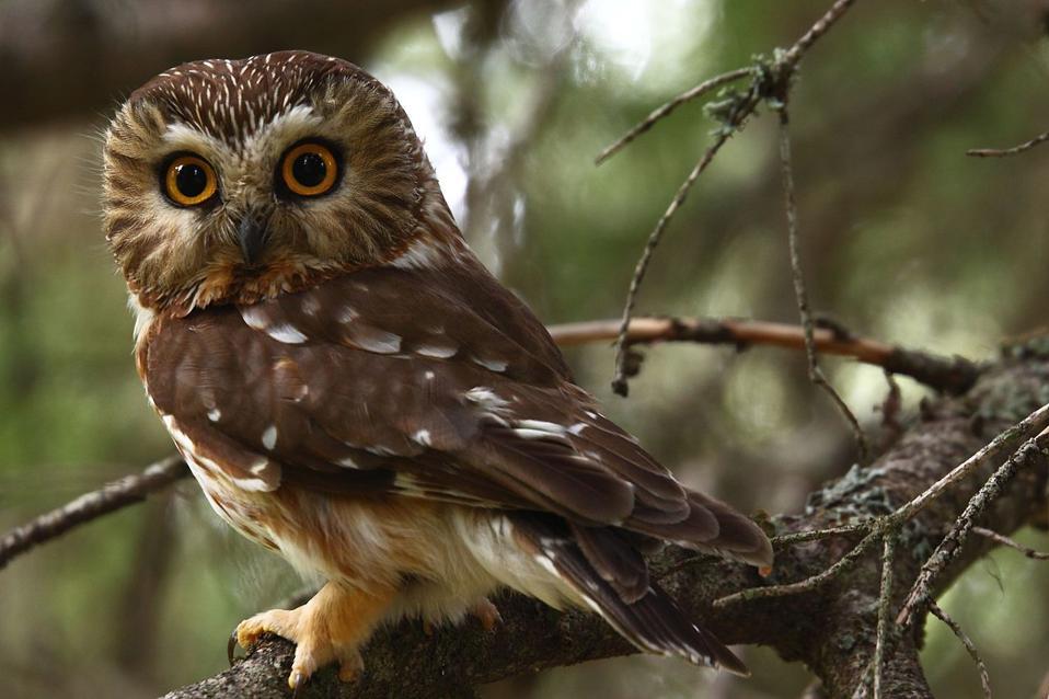 northern saw-whet owl Aegolius acadicus credit Kameron Perensovich