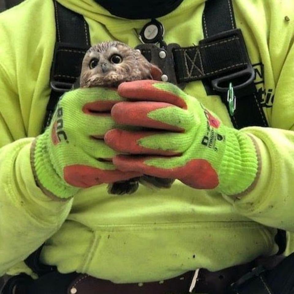 rockefeller center owl ravensbeard wildlife center