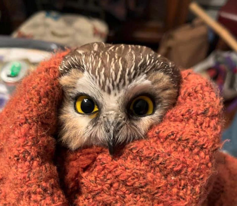 Northern saw-whet owl (Aegolius acadicus) Ravensbeard Wildlife Center
