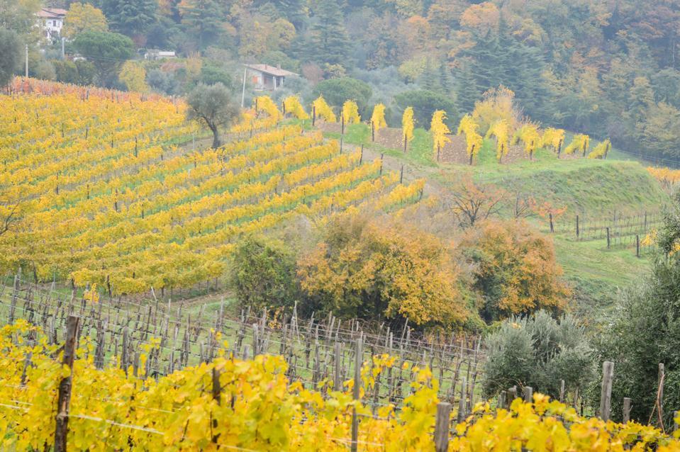 Vineyards in the Euganean Hills near Este.