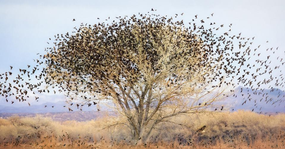 Blackbirds Swarming a Cottonwood Tree with Hawk at Bosque Del Apache, New Mexico