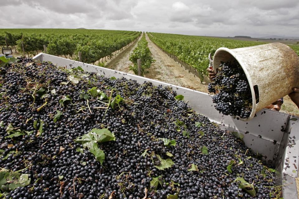 Harvest in South Africa (AP/Schalk van Zuydam)