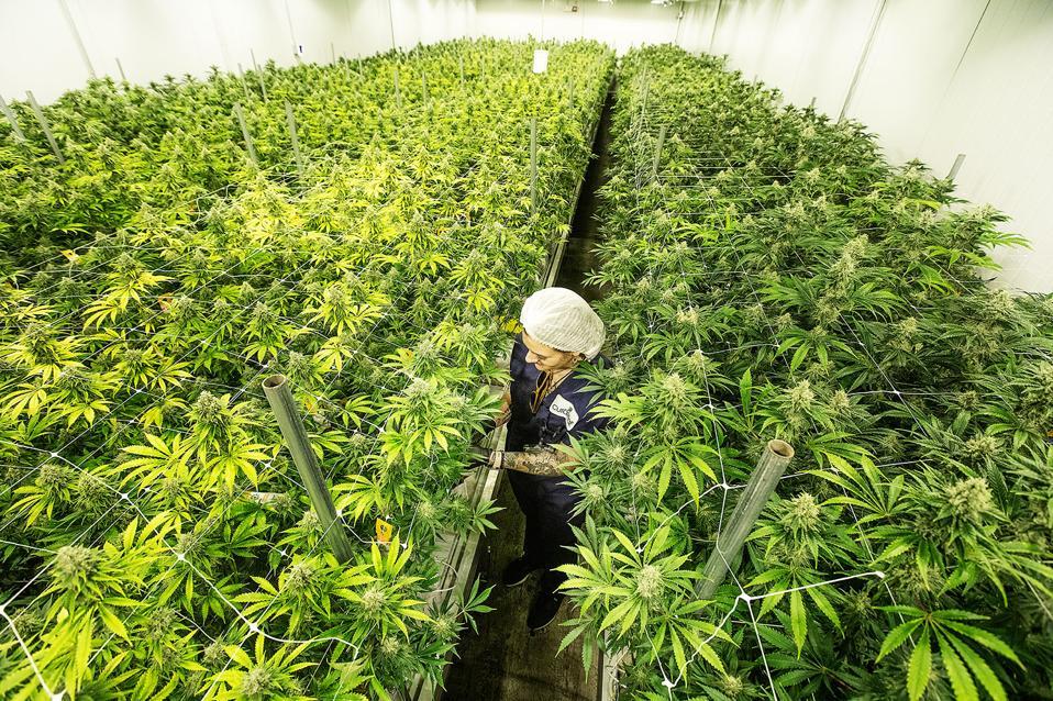 cannabis, curaleaf, cannabis plants