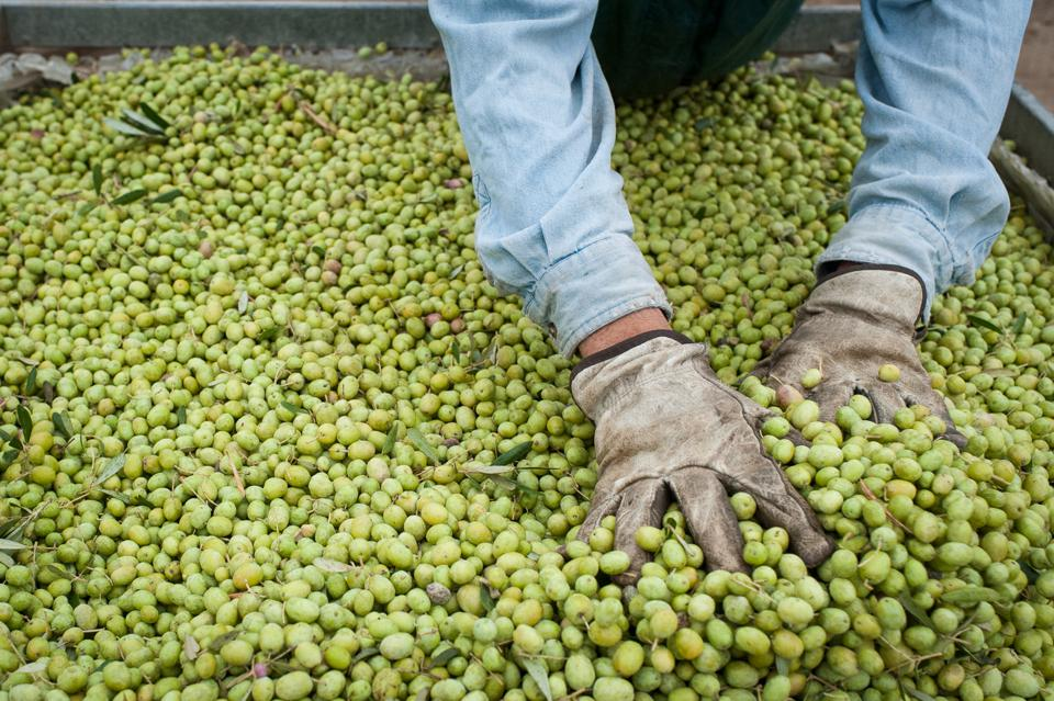 green olives, press, olive oil, farm workers