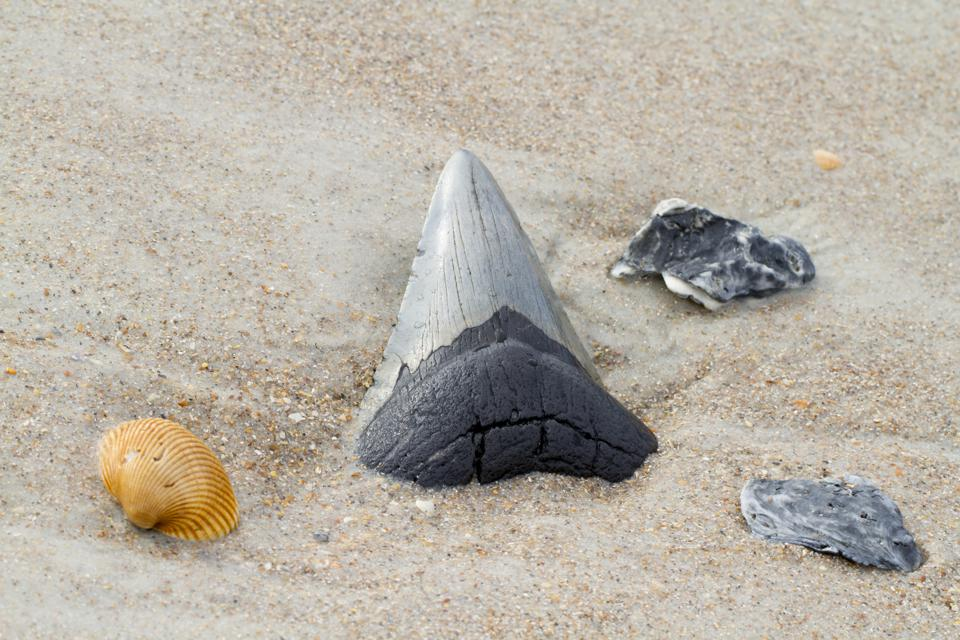 Megalodon Shark Tooth in Beach Sand