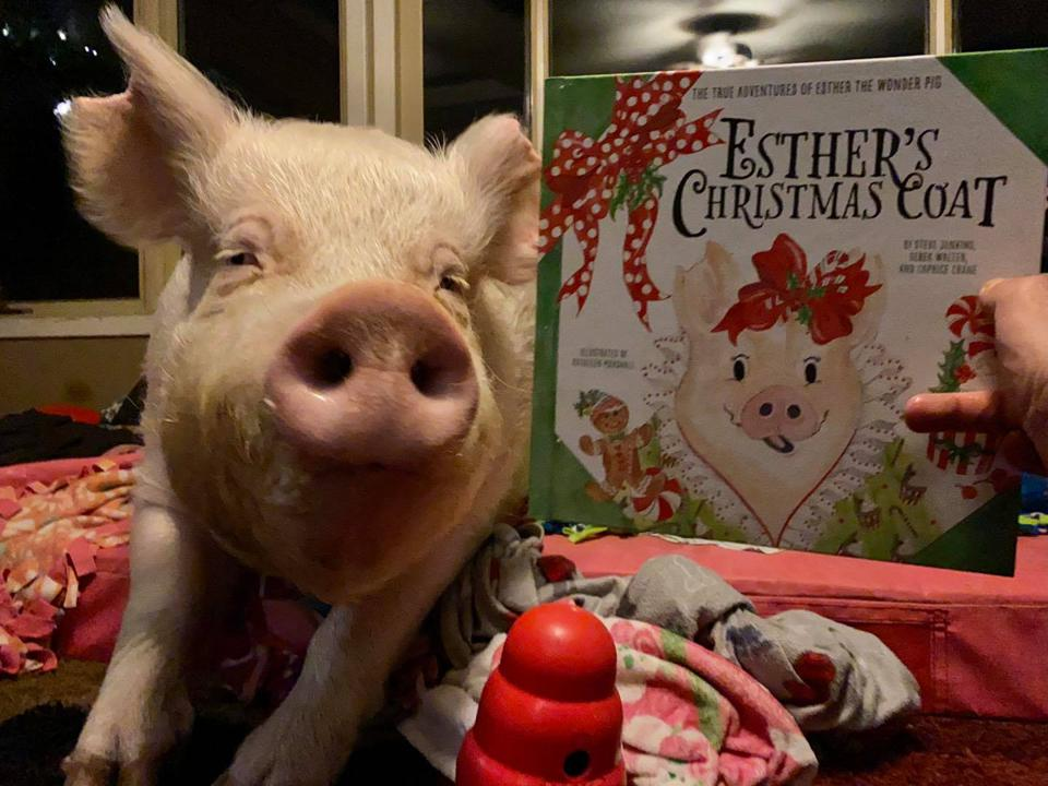 Esther The Wonder Pig at Christmas