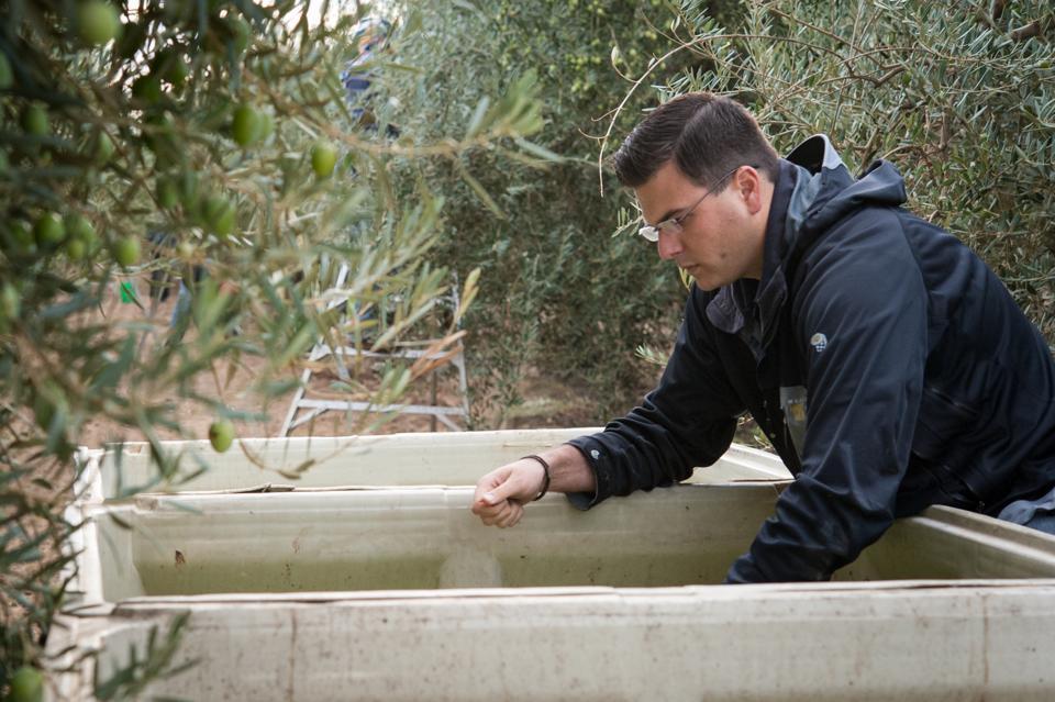 olive oil, harvest, olives, California, farm