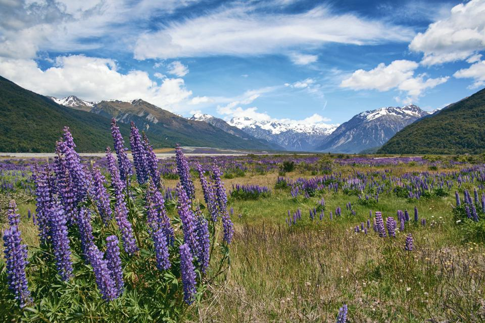 Lupins In Arthur's Pass National Park, New Zealand