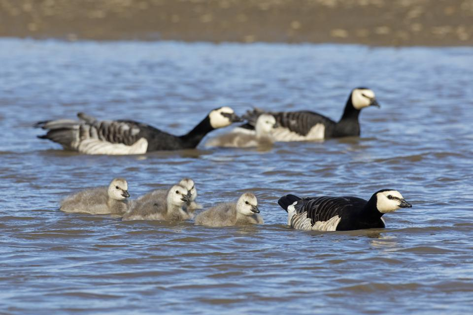 Barnacle goose couples with goslings swimming in lake in summer.