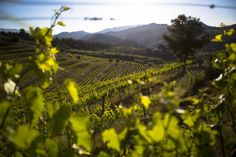Vineyard, Priorat, Spain
