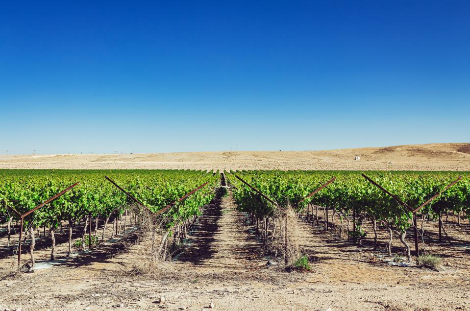 Vines in a desert