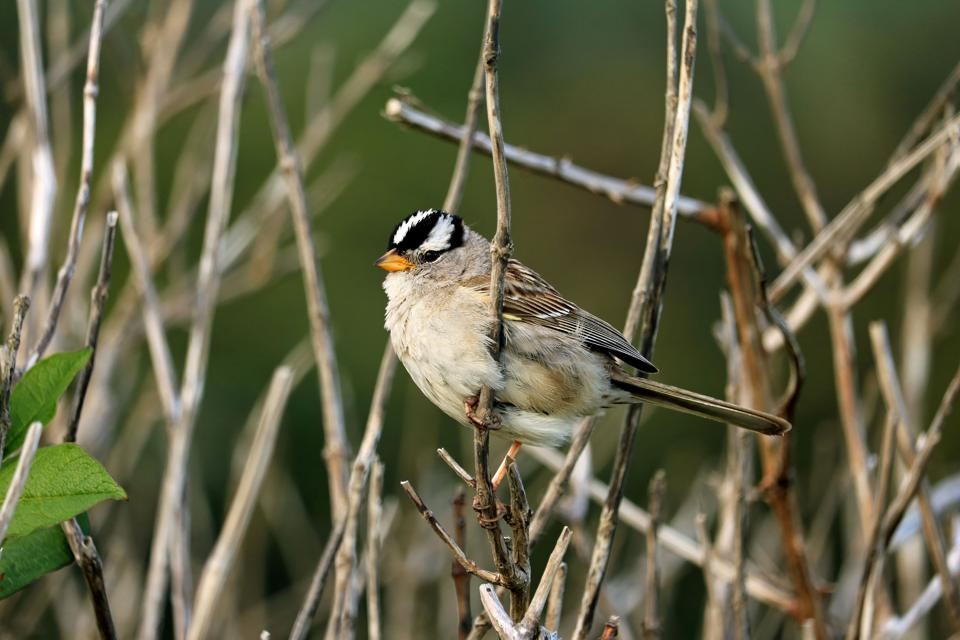 White crowned sparrow perched on branch