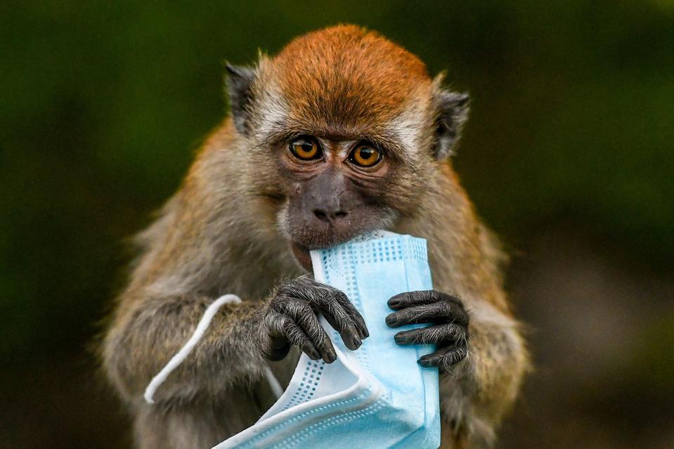 A macaque monkey.