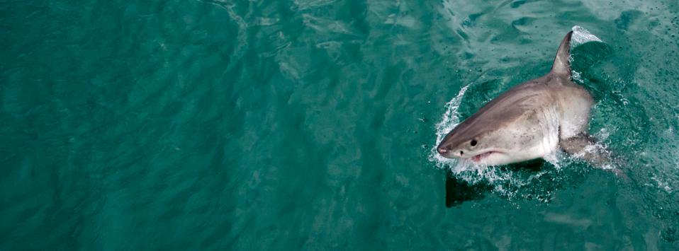A great white shark near Cape Town, South Africa leaps out of the water by its side.
