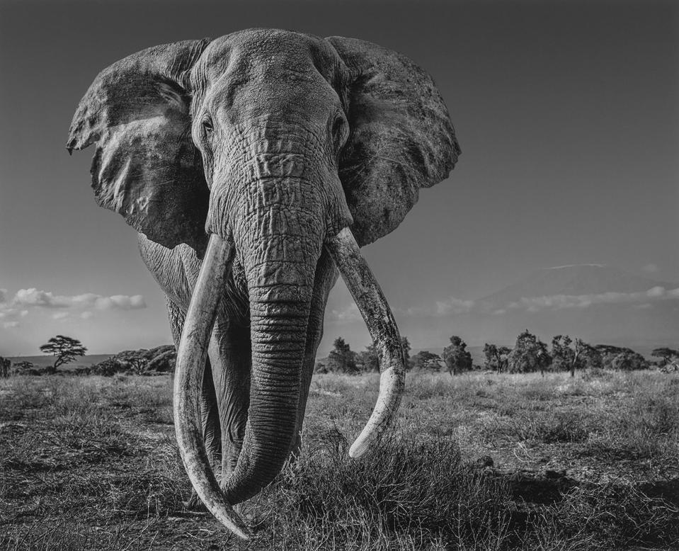 ″Space for Giants,″ David Yarrow's photograph of Craig, one of the few tuskers left in the world, is available for sale for a limited time, with 100% of proceeds going to help end the illegal wildlife trade.