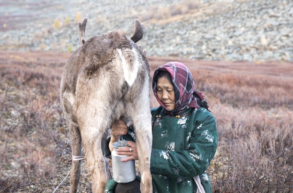 Tsaatan woman milking a reindeer in northern Mongolia