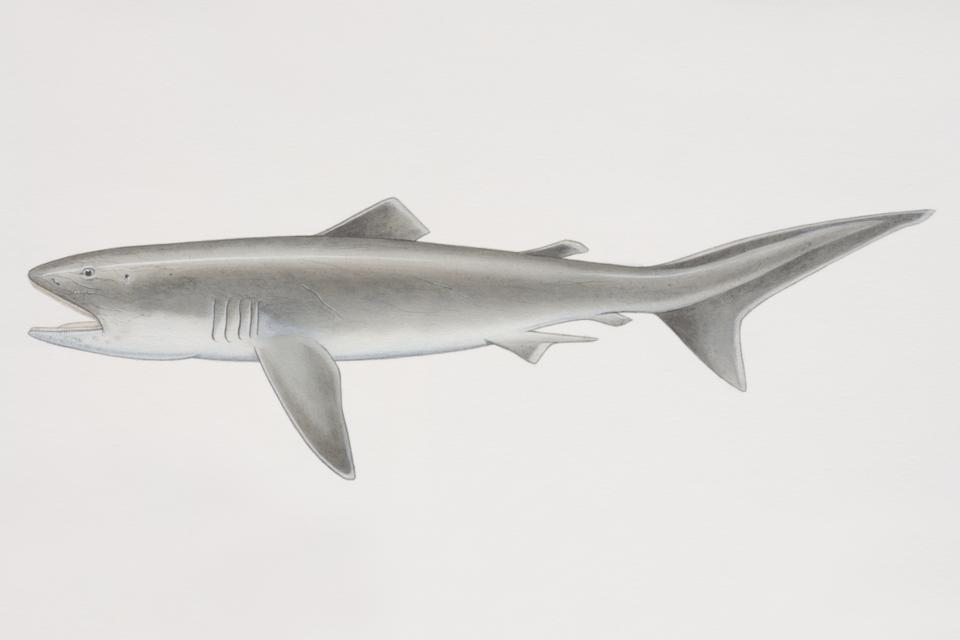 Illustrated side view of Megamouth Shark (Megachasma pelagios).