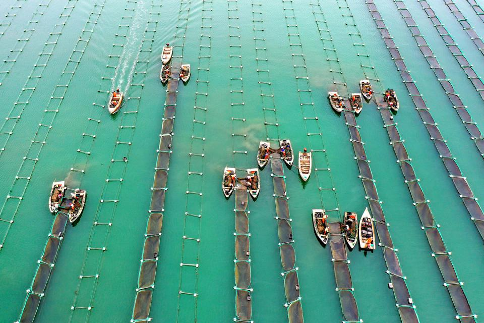 Sea Cucumber Harvest In Rongcheng
