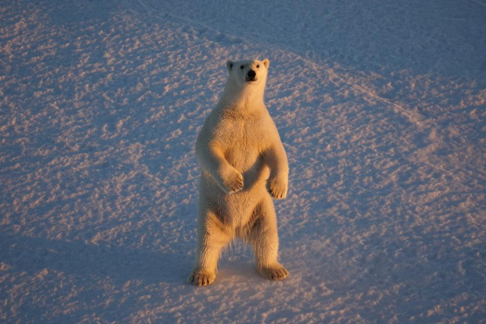 standing polar bear, Ursus maritimus in Beaufort Sea